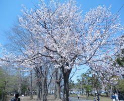 北海道観光レンタカー 札幌 お花見スポット散策